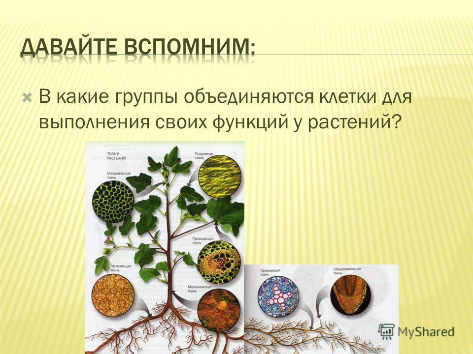 В какие группы объединяются клетки для выполнения своих функций у растений?