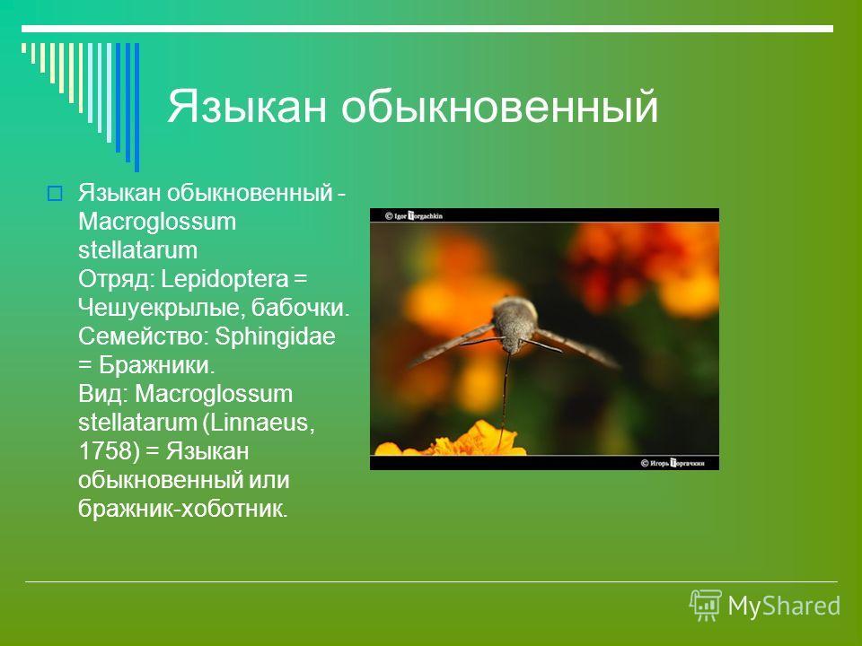 Языкан обыкновенный Языкан обыкновенный - Macroglossum stellatarum Отряд: Lepidoptera = Чешуекрылые, бабочки. Семейство: Sphingidae = Бражники. Вид: Macroglossum stellatarum (Linnaeus, 1758) = Языкан обыкновенный или бражник-хоботник.