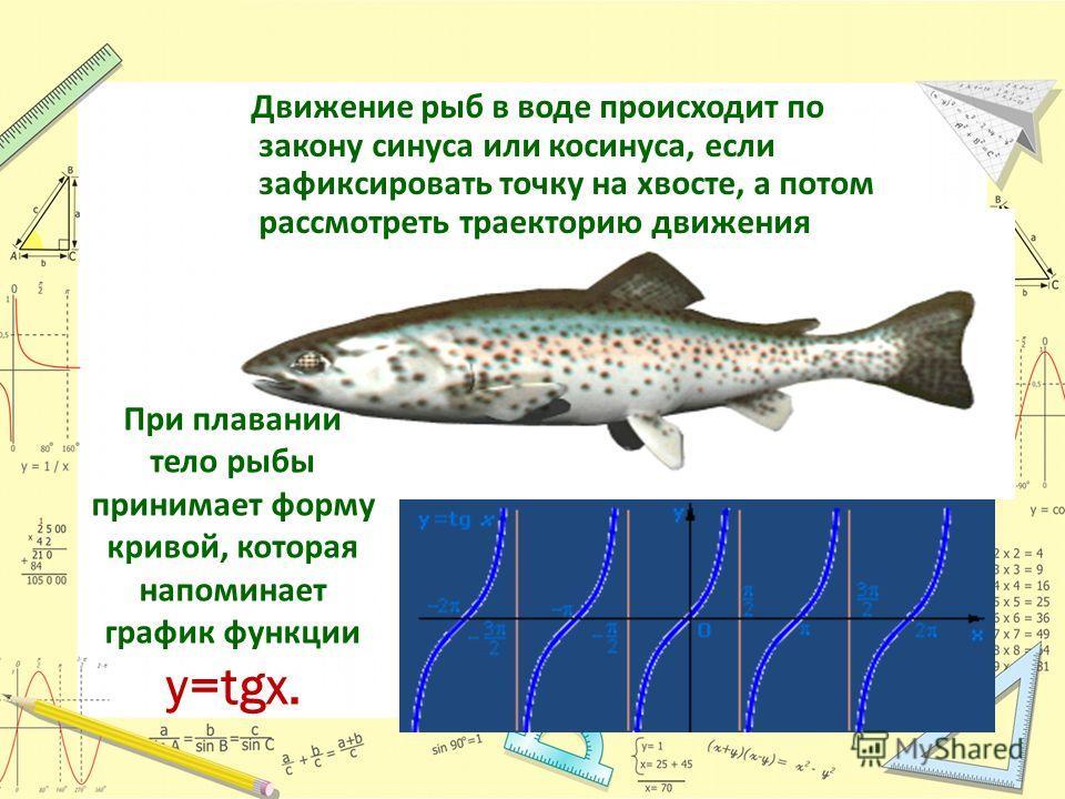 Движение рыб в воде происходит по закону синуса или косинуса, если зафиксировать точку на хвосте, а потом рассмотреть траекторию движения При плавании тело рыбы принимает форму кривой, которая напоминает график функции y=tgx.