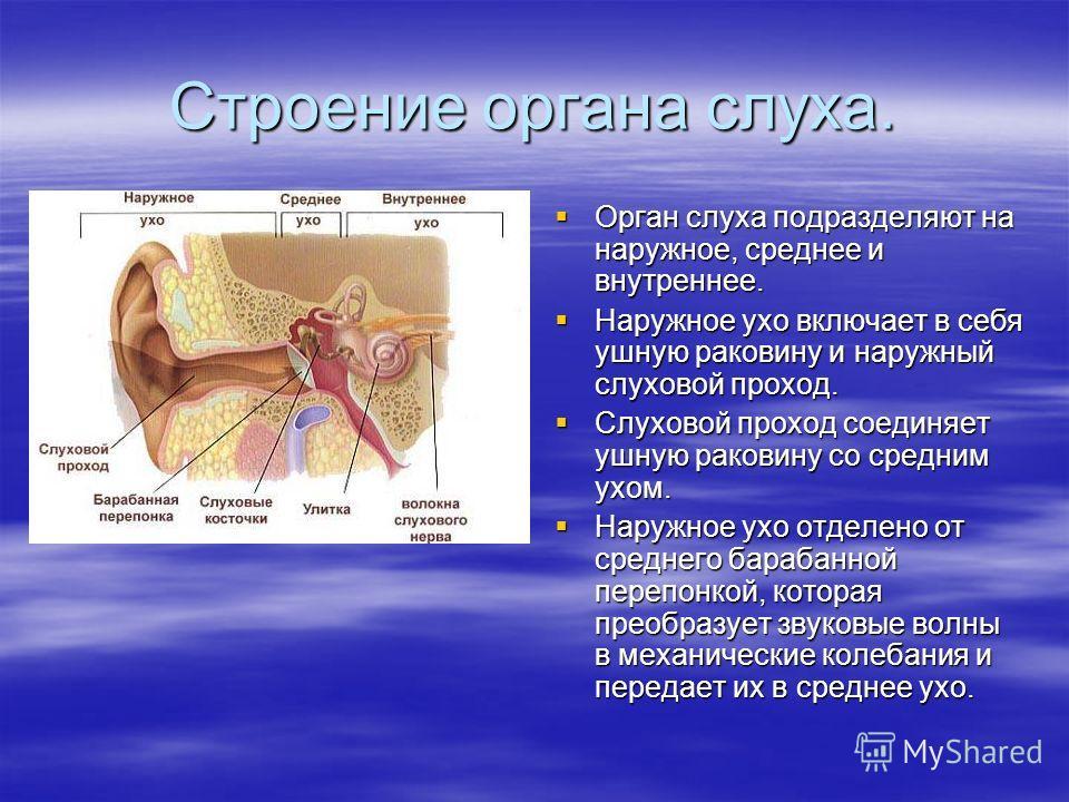 Строение органа слуха. Орган слуха подразделяют на наружное, среднее и внутреннее. Орган слуха подразделяют на наружное, среднее и внутреннее. Наружное ухо включает в себя ушную раковину и наружный слуховой проход. Наружное ухо включает в себя ушную