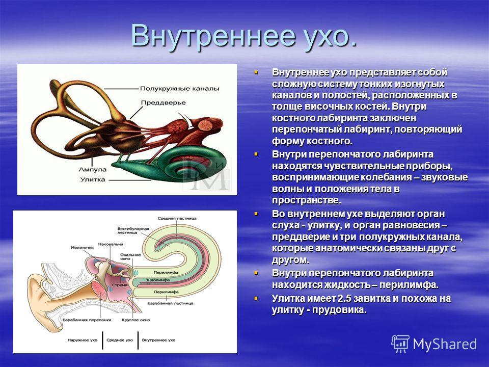 Внутреннее ухо. Внутреннее ухо представляет собой сложную систему тонких изогнутых каналов и полостей, расположенных в толще височных костей. Внутри костного лабиринта заключен перепончатый лабиринт, повторяющий форму костного. Внутреннее ухо предста