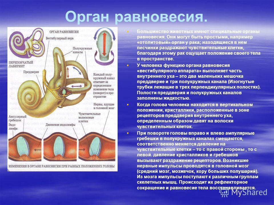 Орган равновесия. Большинство животных имеют специальные органы равновесия. Они могут быть простыми, например «отолитовый» орган у рака; находящиеся в нем песчинки раздражают чувствительные клетки, благодаря этому рак ощущает положение своего тела в