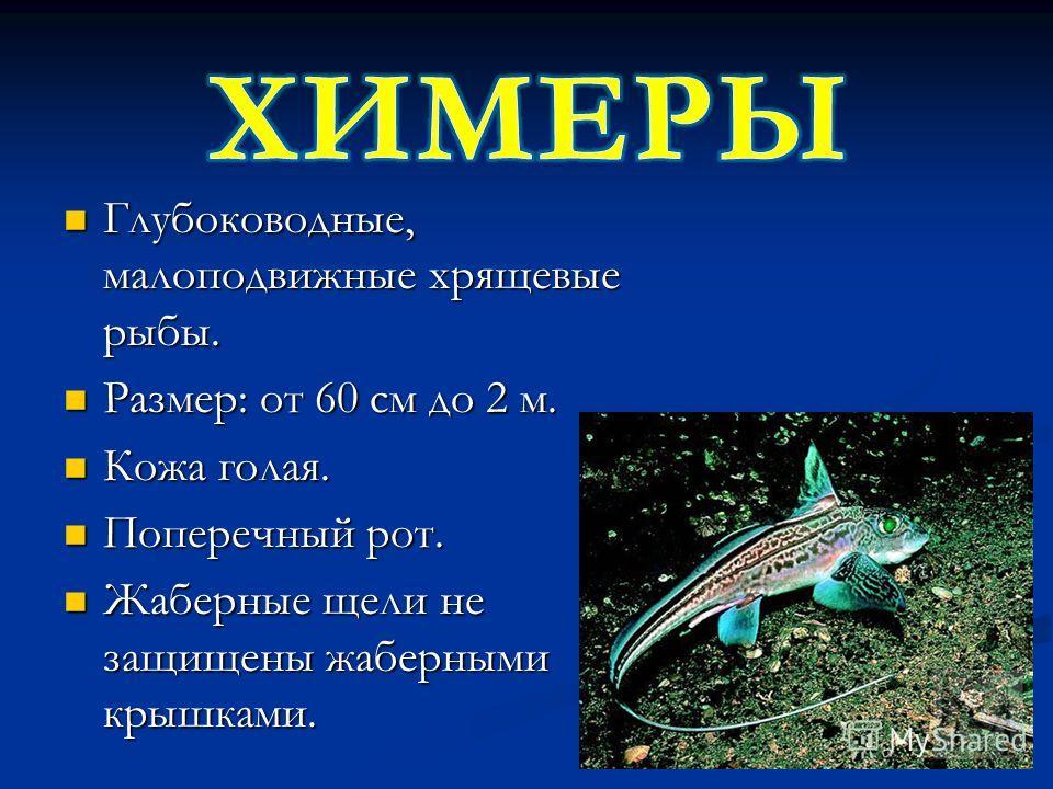 Глубоководные, малоподвижные хрящевые рыбы. Глубоководные, малоподвижные хрящевые рыбы. Размер: от 60 см до 2 м. Размер: от 60 см до 2 м. Кожа голая. Кожа голая. Поперечный рот. Поперечный рот. Жаберные щели не защищены жаберными крышками. Жаберные щ