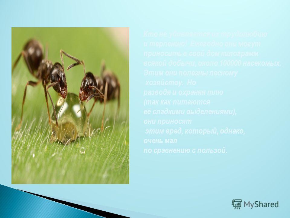 Кто не удивляется их трудолюбию и терпению! Ежегодно они могут приносить в свой дом килограмм всякой добычи, около 100000 насекомых. Этим они полезны лесному хозяйству. Но разводя и охраняя тлю (так как питаются её сладкими выделениями), они приносят