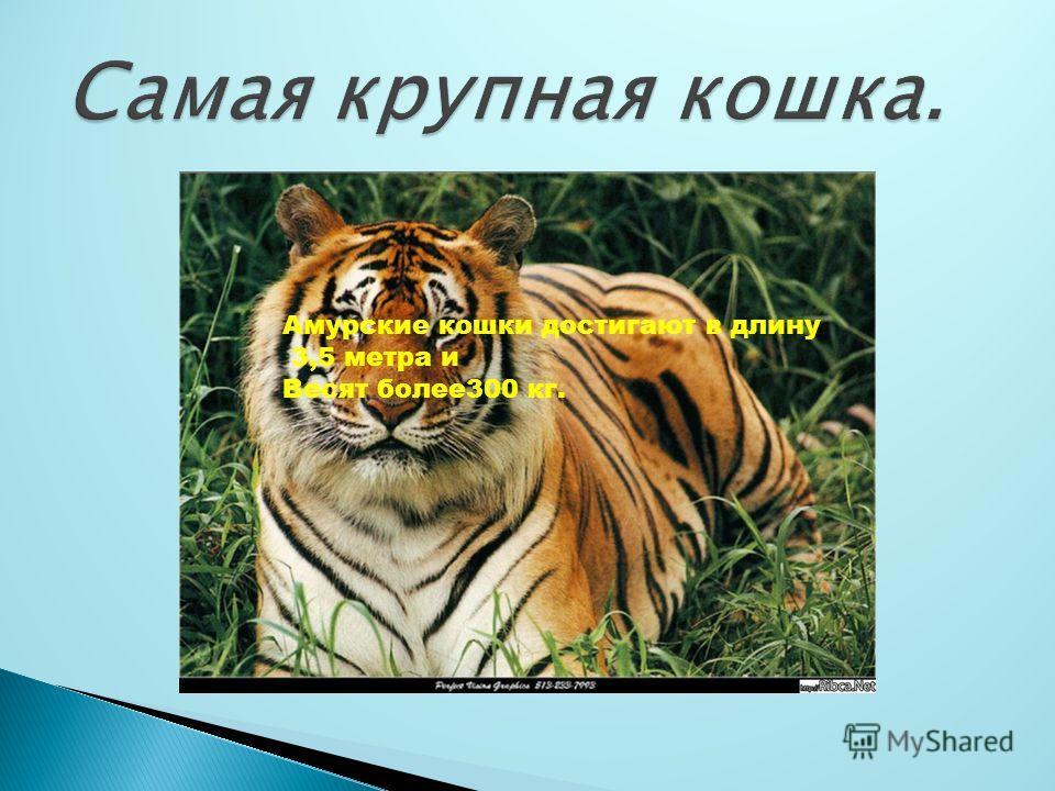 Амурские кошки достигают в длину 3,5 метра и Весят более300 кг.