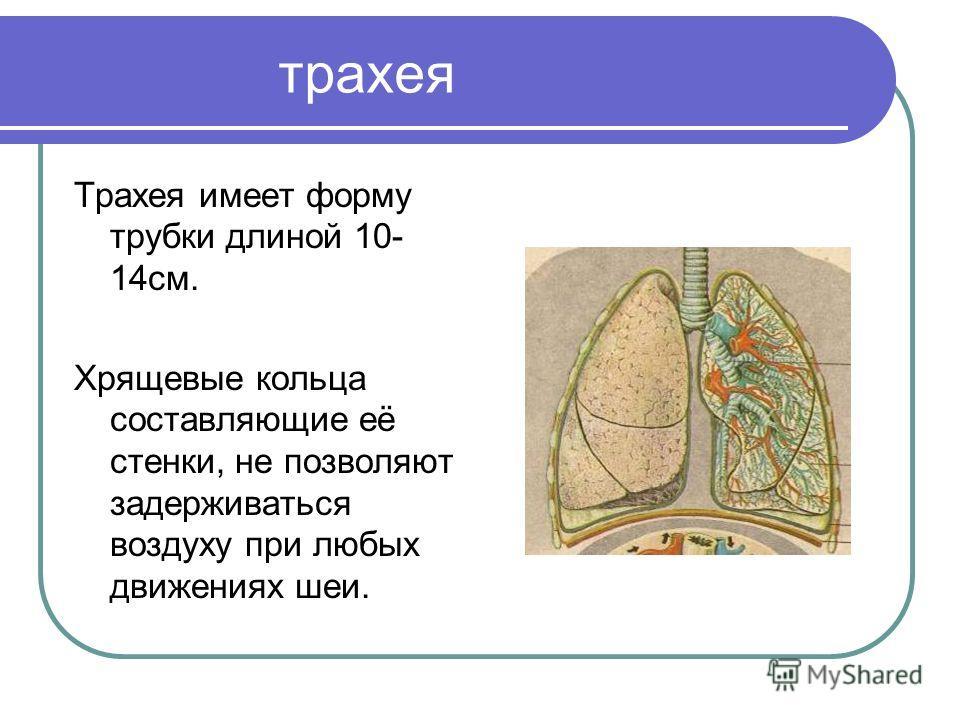 трахея Трахея имеет форму трубки длиной 10- 14см. Хрящевые кольца составляющие её стенки, не позволяют задерживаться воздуху при любых движениях шеи.