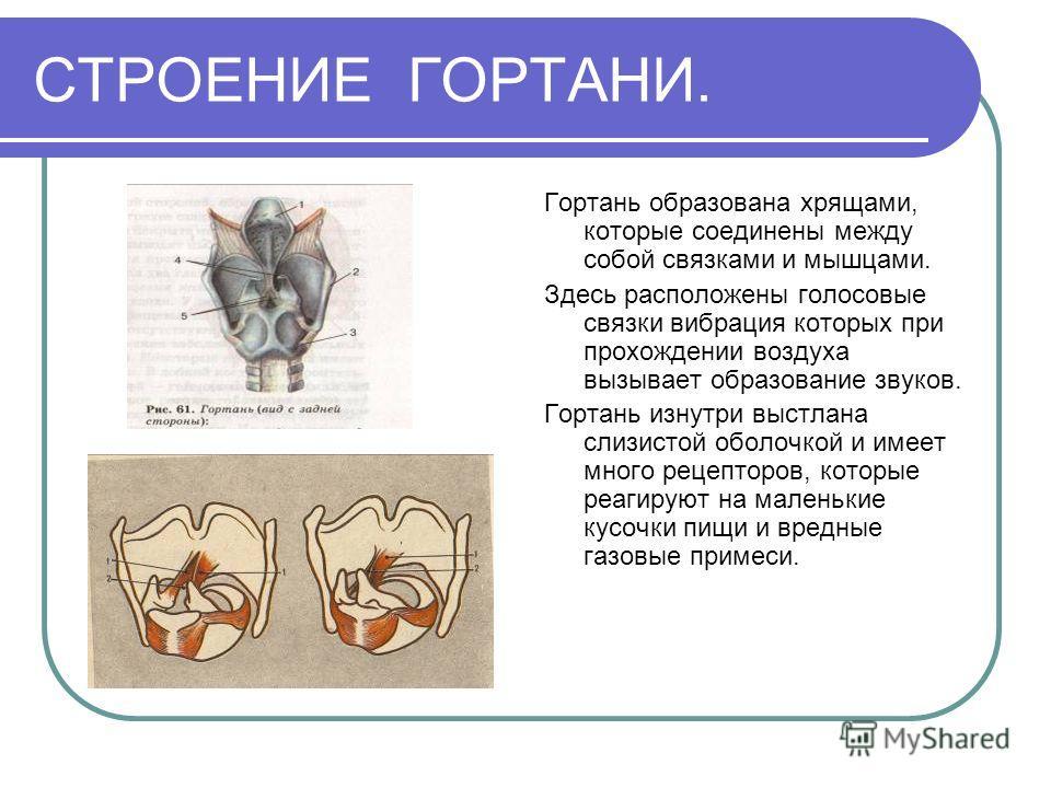 СТРОЕНИЕ ГОРТАНИ. Гортань образована хрящами, которые соединены между собой связками и мышцами. Здесь расположены голосовые связки вибрация которых при прохождении воздуха вызывает образование звуков. Гортань изнутри выстлана слизистой оболочкой и им