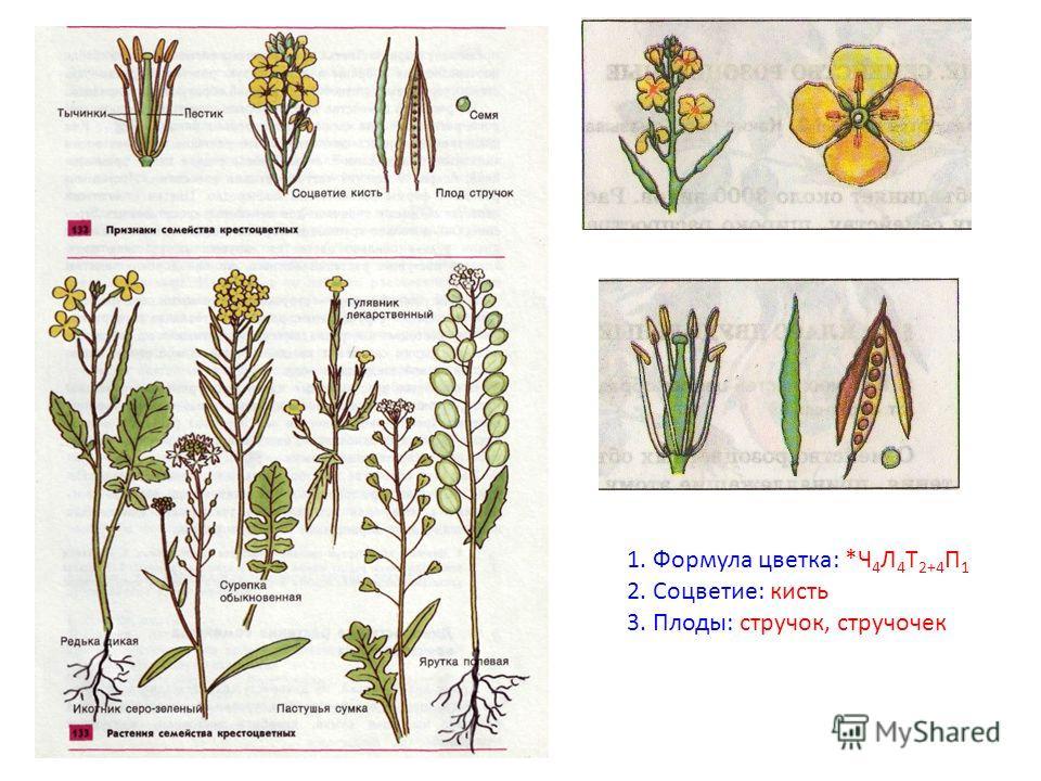 1. Формула цветка: *Ч 4 Л 4 Т 2+4 П 1 2. Соцветие: кисть 3. Плоды: стручок, стручочек