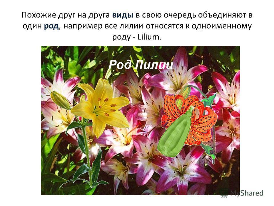 Похожие друг на друга виды в свою очередь объединяют в один род, например все лилии относятся к одноименному роду - Lilium.