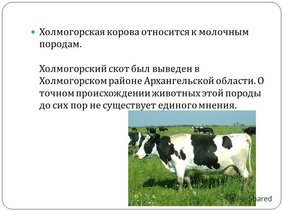 Холмогорская корова относится к молочным породам. Холмогорский скот был выведен в Холмогорском районе Архангельской области. О точном происхождении животных этой породы до сих пор не существует единого мнения.