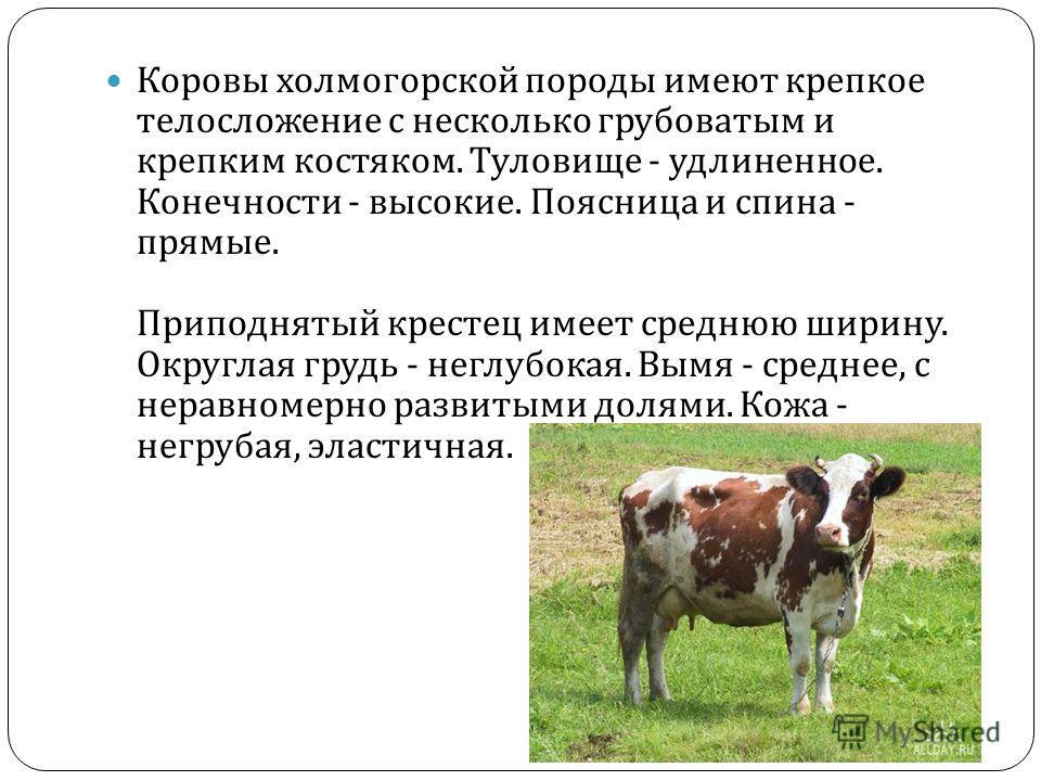 Коровы холмогорской породы имеют крепкое телосложение с несколько грубоватым и крепким костяком. Туловище - удлиненное. Конечности - высокие. Поясница и спина - прямые. Приподнятый крестец имеет среднюю ширину. Округлая грудь - неглубокая. Вымя - сре