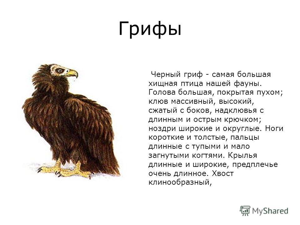 Грифы Черный гриф - самая большая хищная птица нашей фауны. Голова большая, покрытая пухом; клюв массивный, высокий, сжатый с боков, надклювья с длинным и острым крючком; ноздри широкие и округлые. Ноги короткие и толстые, пальцы длинные с тупыми и м