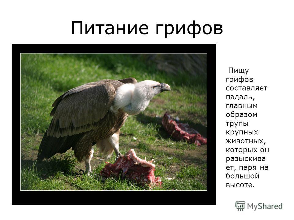 Питание грифов Пищу грифов составляет падаль, главным образом трупы крупных животных, которых он разыскива ет, паря на большой высоте.