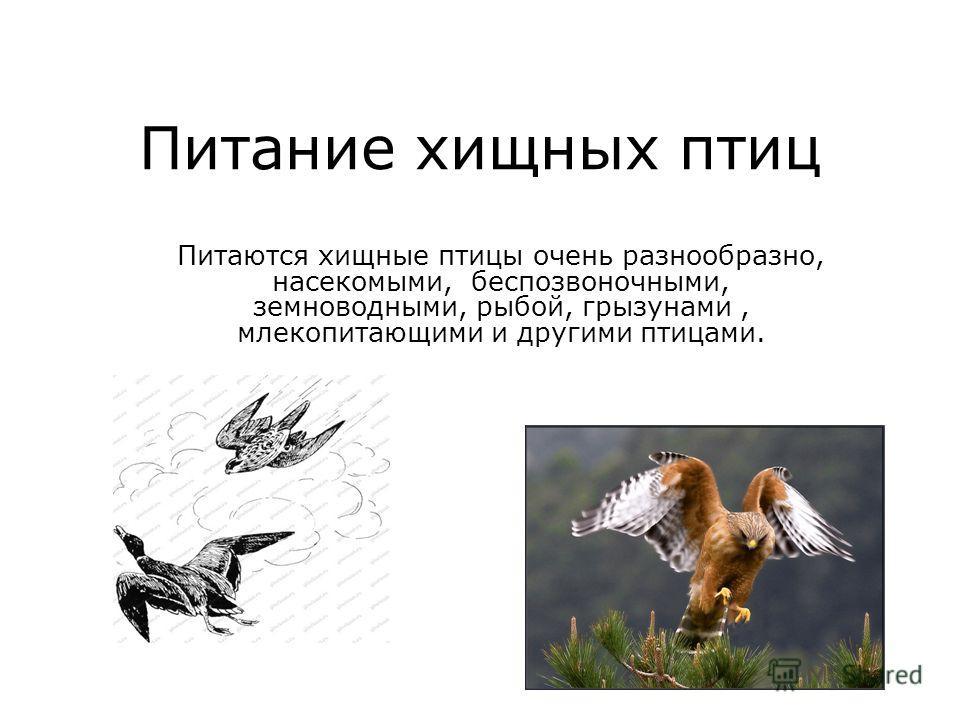 Питание хищных птиц Питаются хищные птицы очень разнообразно, насекомыми, беспозвоночными, земноводными, рыбой, грызунами, млекопитающими и другими птицами.