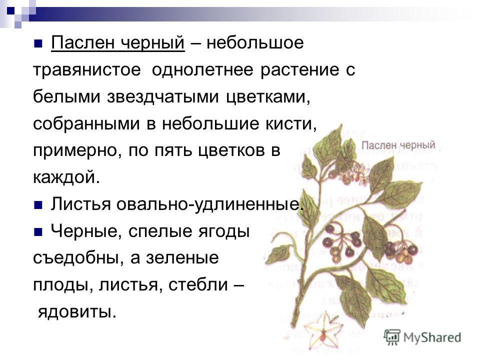 Паслен черный – небольшое травянистое однолетнее растение с белыми звездчатыми цветками, собранными в небольшие кисти, примерно, по пять цветков в каждой. Листья овально-удлиненные. Черные, спелые ягоды съедобны, а зеленые плоды, листья, стебли – ядо