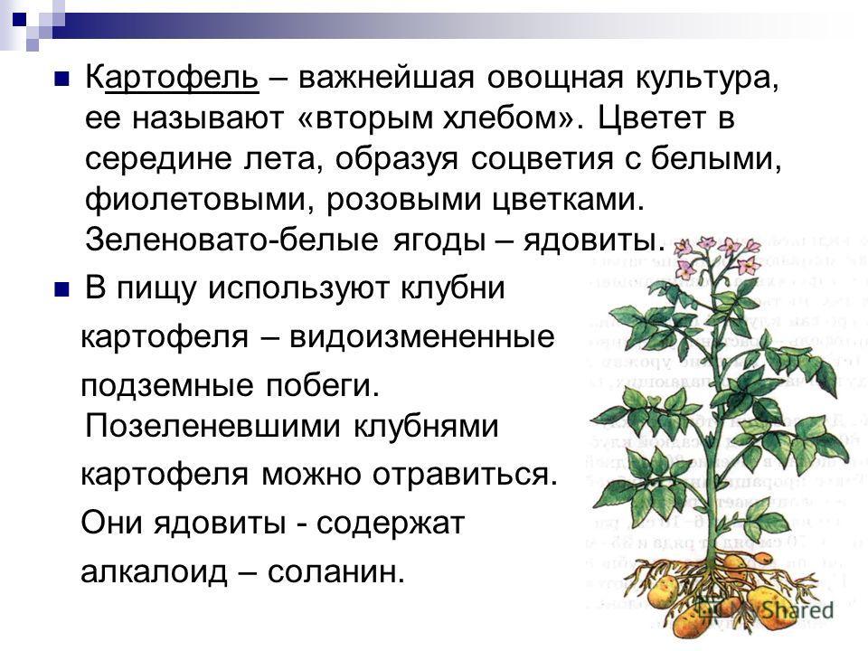Картофель – важнейшая овощная культура, ее называют «вторым хлебом». Цветет в середине лета, образуя соцветия с белыми, фиолетовыми, розовыми цветками. Зеленовато-белые ягоды – ядовиты. В пищу используют клубни картофеля – видоизмененные подземные по