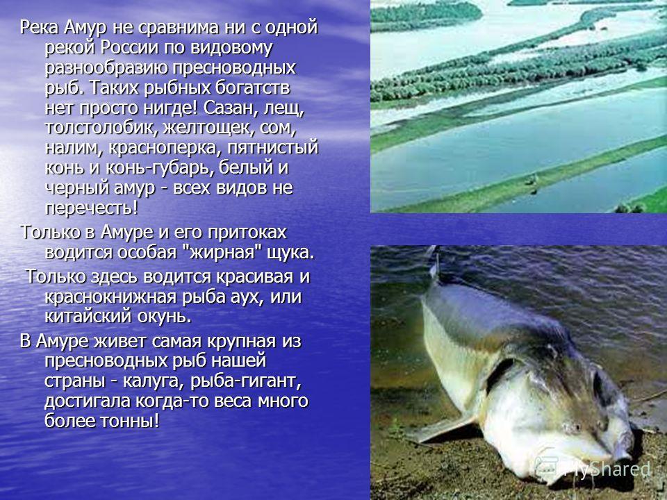 Река Амур не сравнима ни с одной рекой России по видовому разнообразию пресноводных рыб. Таких рыбных богатств нет просто нигде! Сазан, лещ, толстолобик, желтощек, сом, налим, красноперка, пятнистый конь и конь-губарь, белый и черный амур - всех видо