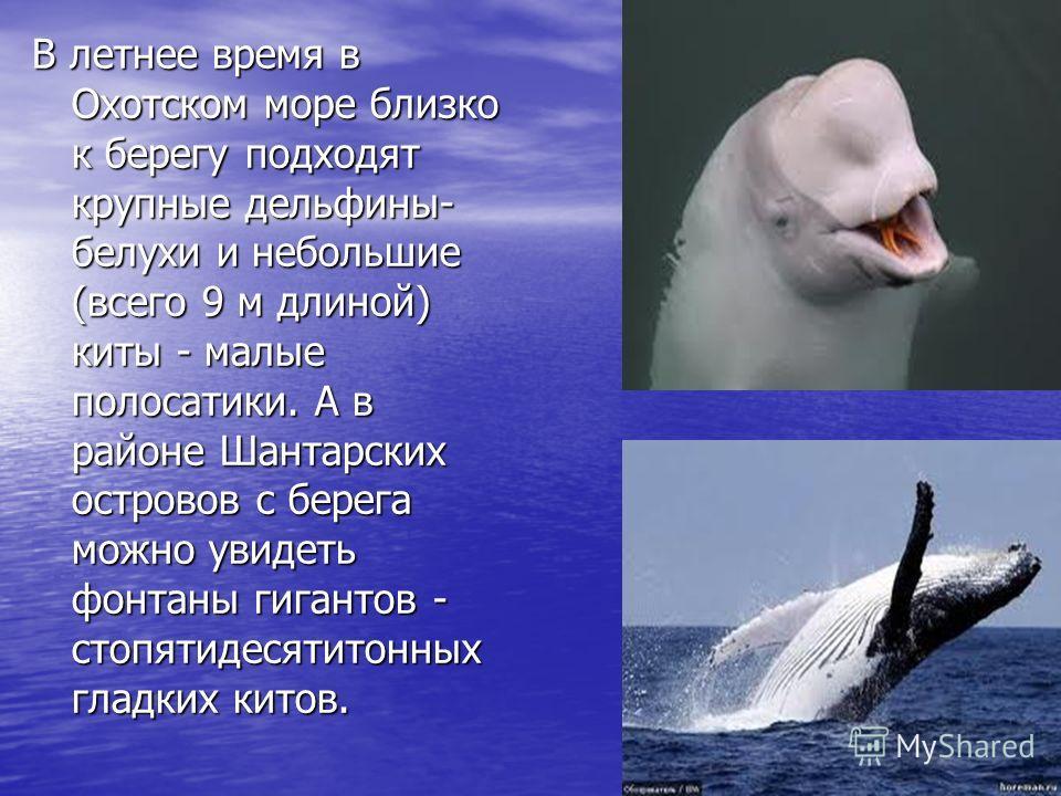 В летнее время в Охотском море близко к берегу подходят крупные дельфины- белухи и небольшие (всего 9 м длиной) киты - малые полосатики. А в районе Шантарских островов с берега можно увидеть фонтаны гигантов - стопятидесятитонных гладких китов.