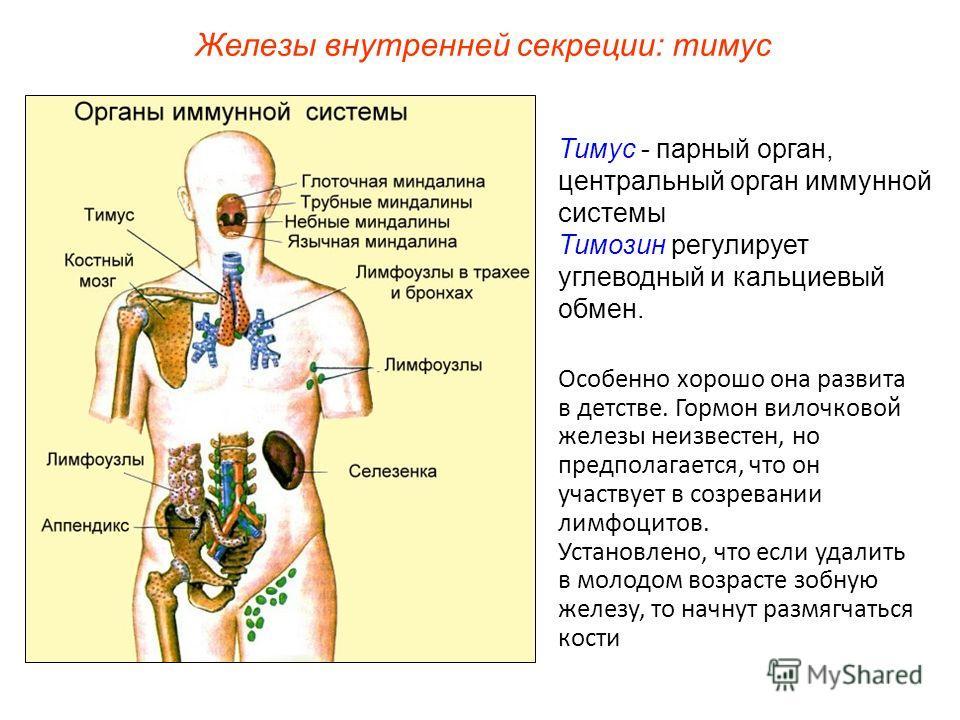 Тимус - парный орган, центральный орган иммунной системы Тимозин регулирует углеводный и кальциевый обмен. Железы внутренней секреции: тимус Особенно хорошо она развита в детстве. Гормон вилочковой железы неизвестен, но предполагается, что он участву