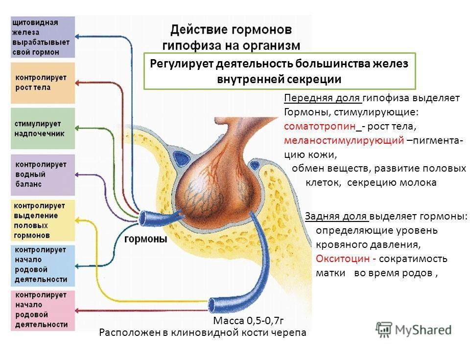 Передняя доля гипофиза выделяет Гормоны, стимулирующие: соматотропин_- рост тела, меланостимулирующий –пигмента- цию кожи, обмен веществ, развитие половых клеток, секрецию молока Регулирует деятельность большинства желез внутренней секреции Расположе