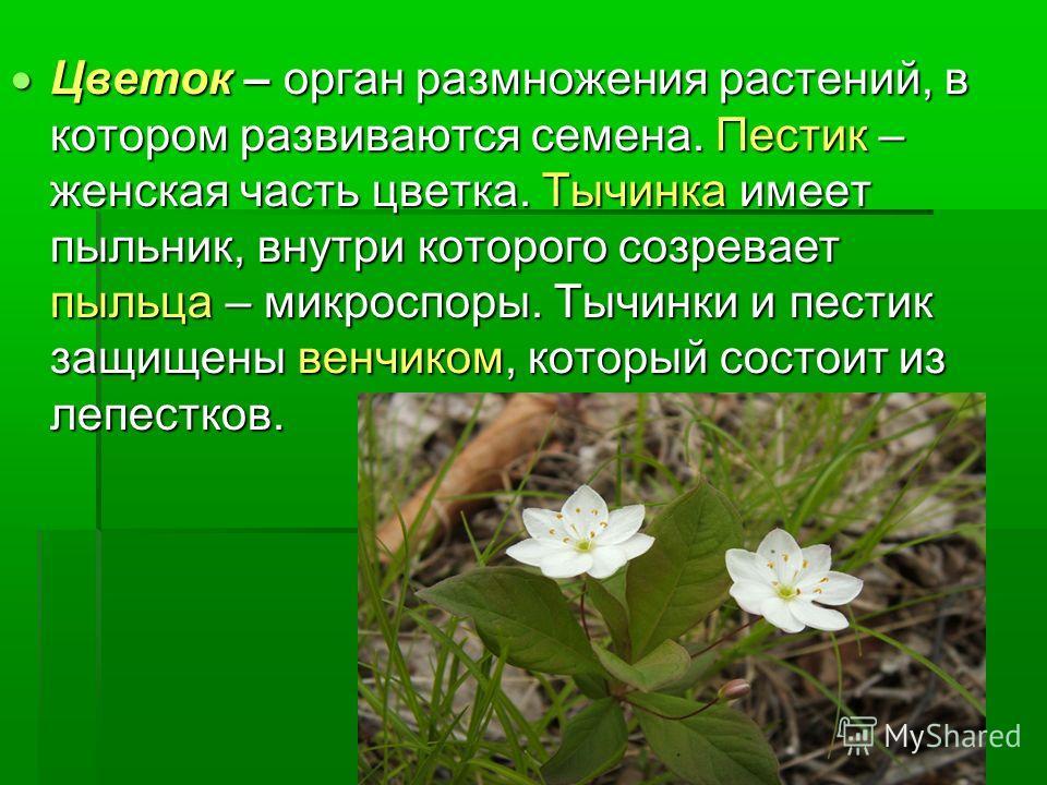 Цветок – орган размножения растений, в котором развиваются семена. Пестик – женская часть цветка. Тычинка имеет пыльник, внутри которого созревает пыльца – микроспоры. Тычинки и пестик защищены венчиком, который состоит из лепестков. Цветок – орган р