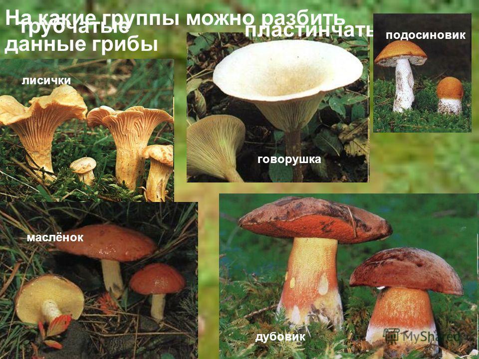 На какие группы можно разбить данные грибы дубовик лисички говорушка маслёнок трубчатые пластинчатые подосиновик