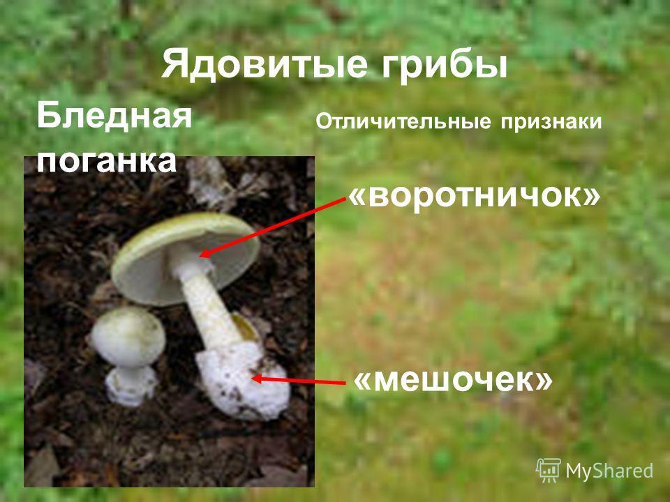 Ядовитые грибы Бледная поганка Отличительные признаки «воротничок» «мешочек»