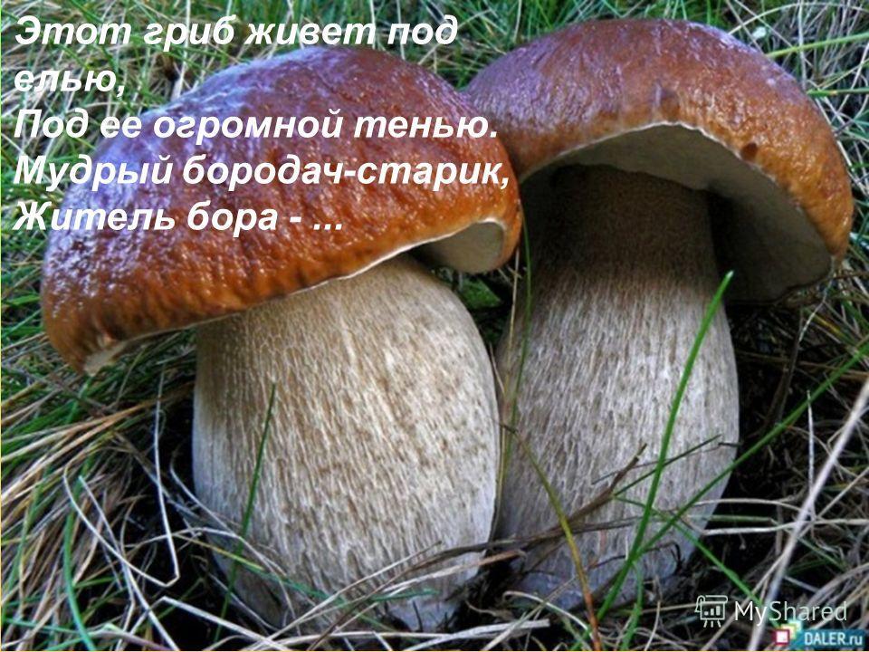 Этот гриб живет под елью, Под ее огромной тенью. Мудрый бородач-старик, Житель бора -...
