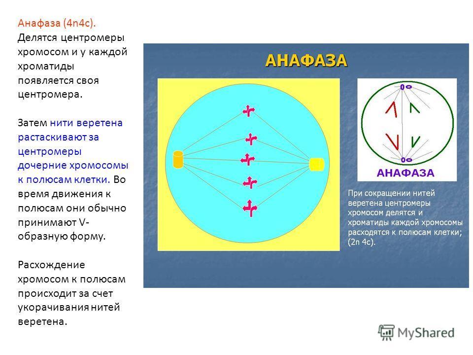 Анафаза (4n4c). Делятся центромеры хромосом и у каждой хроматиды появляется своя центромера. Затем нити веретена растаскивают за центромеры дочерние хромосомы к полюсам клетки. Во время движения к полюсам они обычно принимают V- образную форму. Расхо