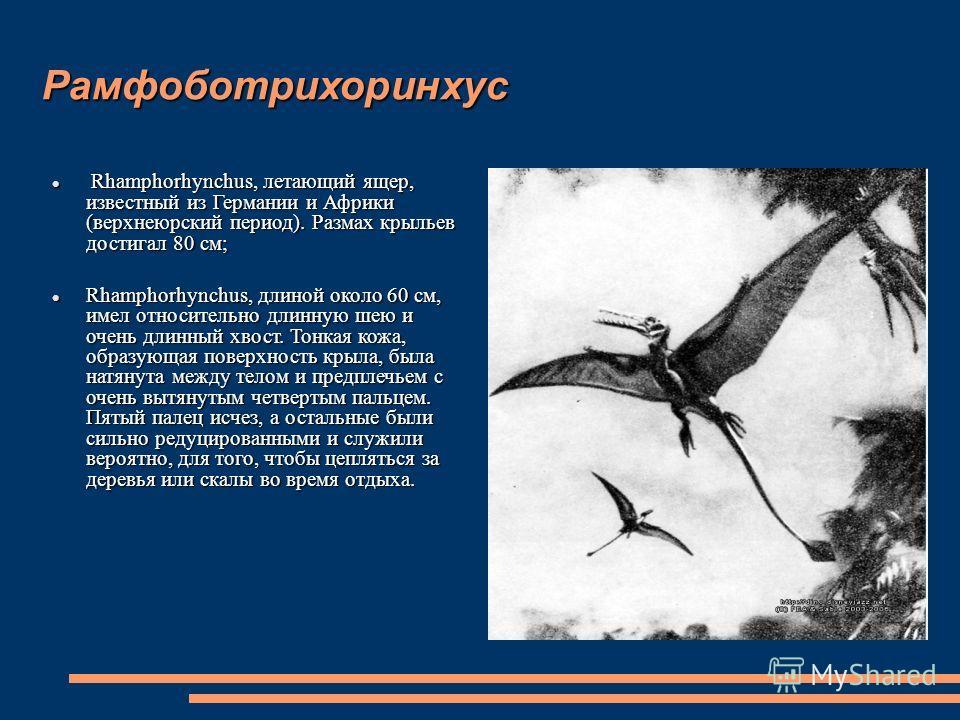 Рамфоботрихоринхус Rhamphorhynchus, летающий ящер, известный из Германии и Африки (верхнеюрский период). Размах крыльев достигал 80 см; Rhamphorhynchus, летающий ящер, известный из Германии и Африки (верхнеюрский период). Размах крыльев достигал 80 с