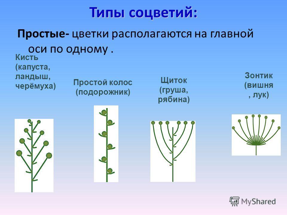 Типы соцветий: Простые- цветки располагаются на главной оси по одному. Кисть (капуста, ландыш, черёмуха) Простой колос (подорожник) Щиток (груша, рябина) Зонтик (вишня, лук)