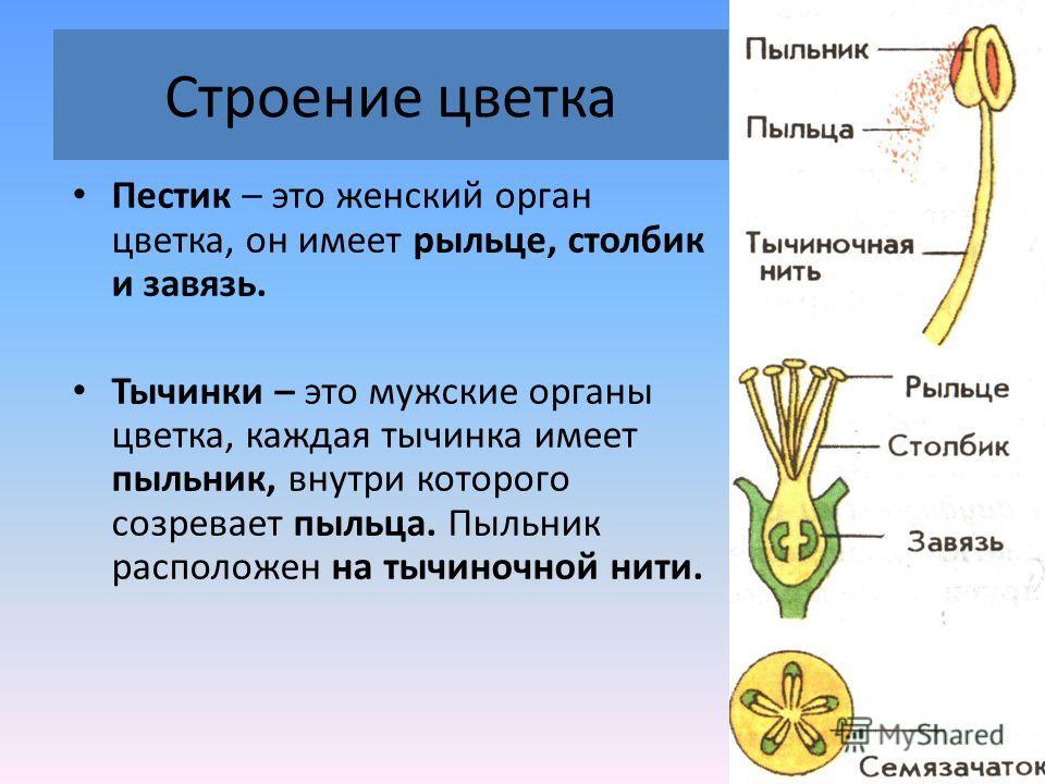 Строение цветка Пестик – это женский орган цветка, он имеет рыльце, столбик и завязь. Тычинки – это мужские органы цветка, каждая тычинка имеет пыльник, внутри которого созревает пыльца. Пыльник расположен на тычиночной нити.
