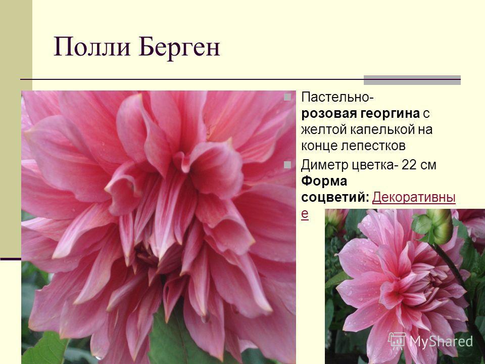 Полли Берген Пастельно- розовая георгина с желтой капелькой на конце лепестков Диметр цветка- 22 см Форма соцветий: Декоративны еДекоративны е
