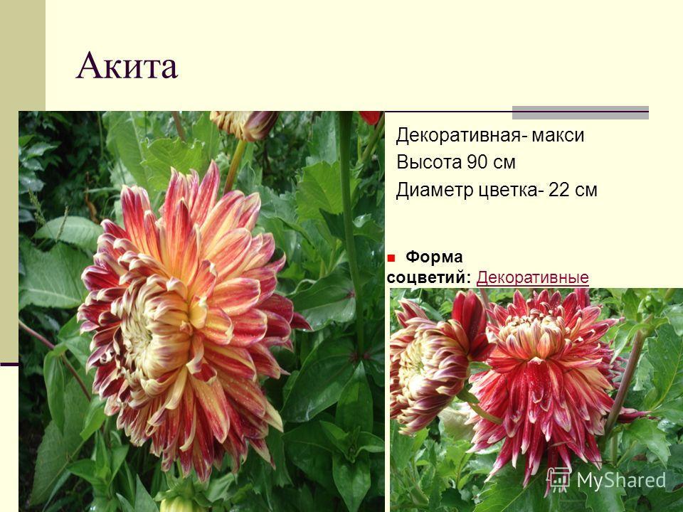 Акита Декоративная- макси Высота 90 см Диаметр цветка- 22 см Форма соцветий: ДекоративныеДекоративные
