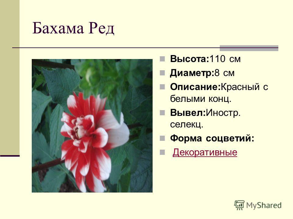 Бахама Ред Высота:110 см Диаметр:8 см Описание:Красный с белыми конц. Вывел:Иностр. селекц. Форма соцветий: Декоративные