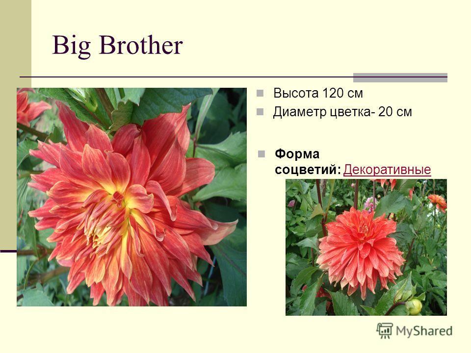 Big Brother Высота 120 см Диаметр цветка- 20 см Форма соцветий: ДекоративныеДекоративные