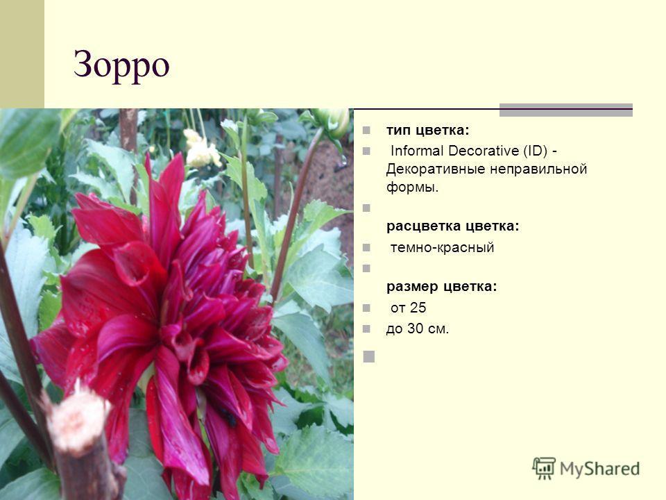 Зорро тип цветка: Informal Decorative (ID) - Декоративные неправильной формы. расцветка цветка: темно-красный размер цветка: от 25 до 30 см.