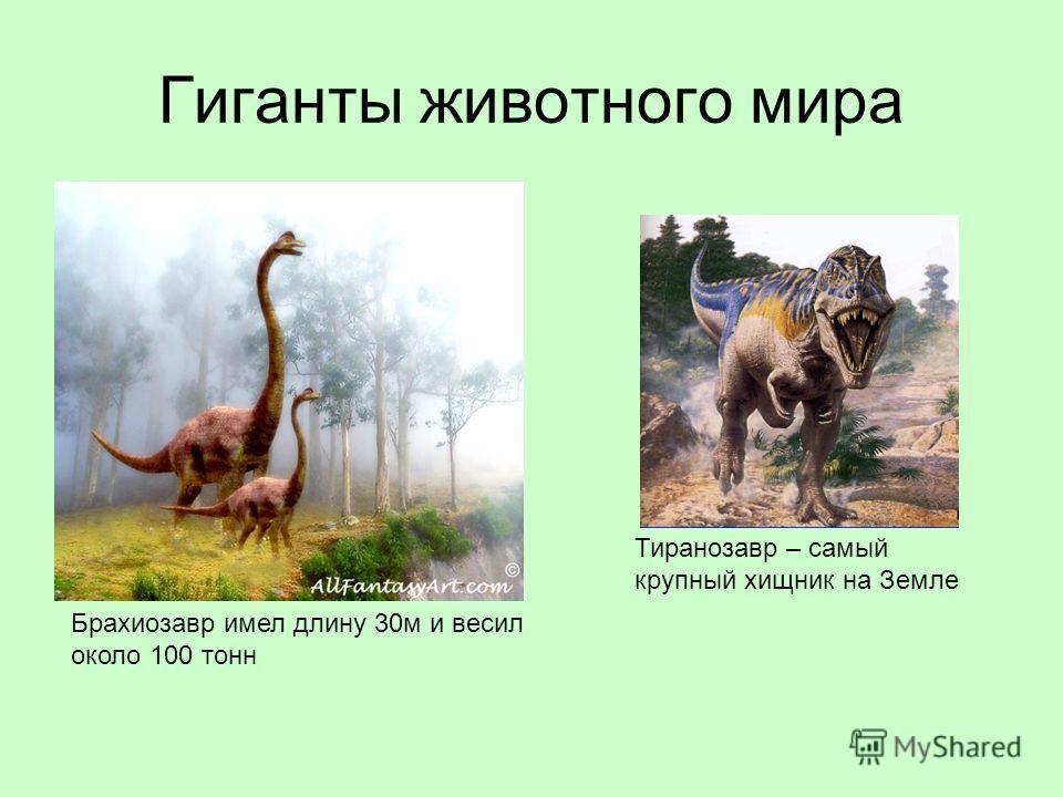 Гиганты животного мира Брахиозавр имел длину 30м и весил около 100 тонн Тиранозавр – самый крупный хищник на Земле