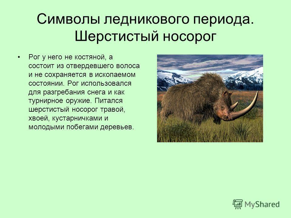 Символы ледникового периода. Шерстистый носорог Рог у него не костяной, а состоит из отвердевшего волоса и не сохраняется в ископаемом состоянии. Рог использовался для разгребания снега и как турнирное оружие. Питался шерстистый носорог травой, хвоей
