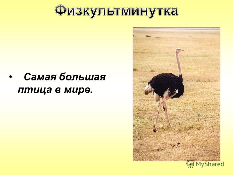 Самая большая птица в мире.