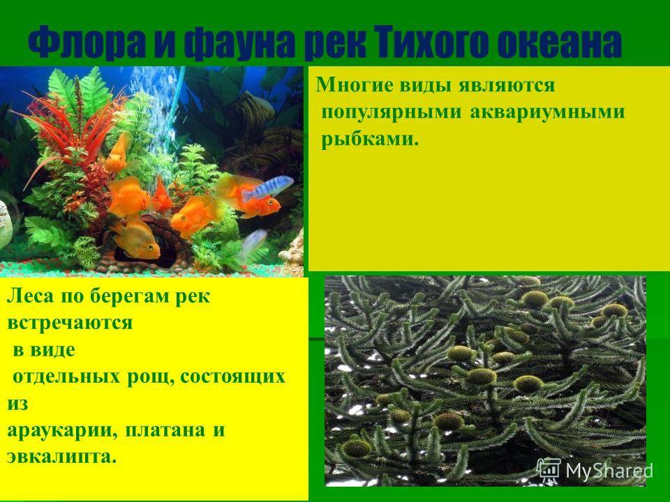 Флора и фауна рек Тихого океана Многие виды являются популярными аквариумными рыбками. Леса по берегам рек встречаются в виде отдельных рощ, состоящих из араукарии, платана и эвкалипта.