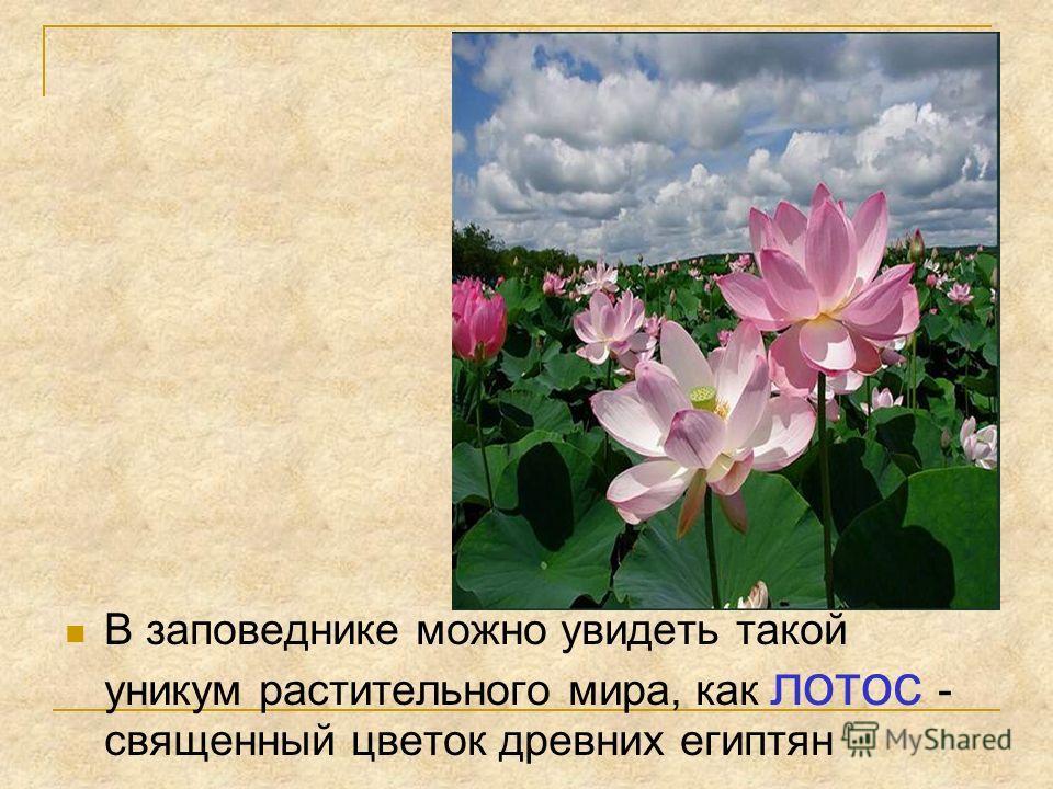 В заповеднике можно увидеть такой уникум растительного мира, как лотос - священный цветок древних египтян