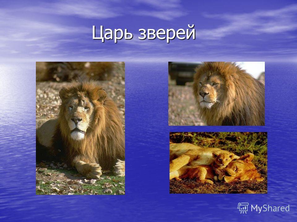 Царь зверей Царь зверей