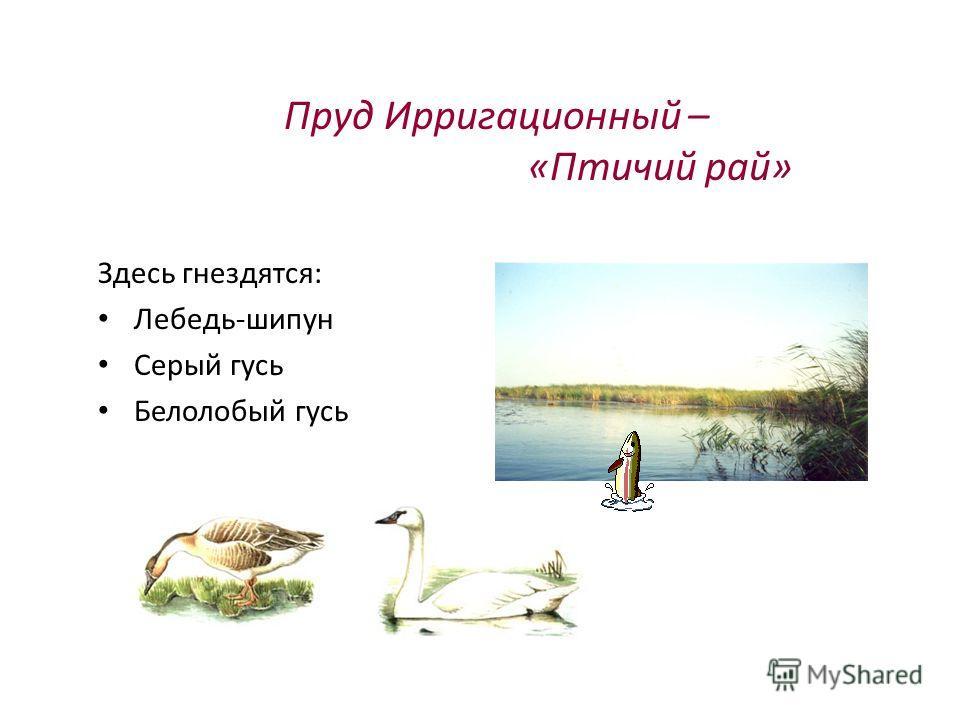 Пруд Ирригационный – «Птичий рай» Здесь гнездятся: Лебедь-шипун Серый гусь Белолобый гусь