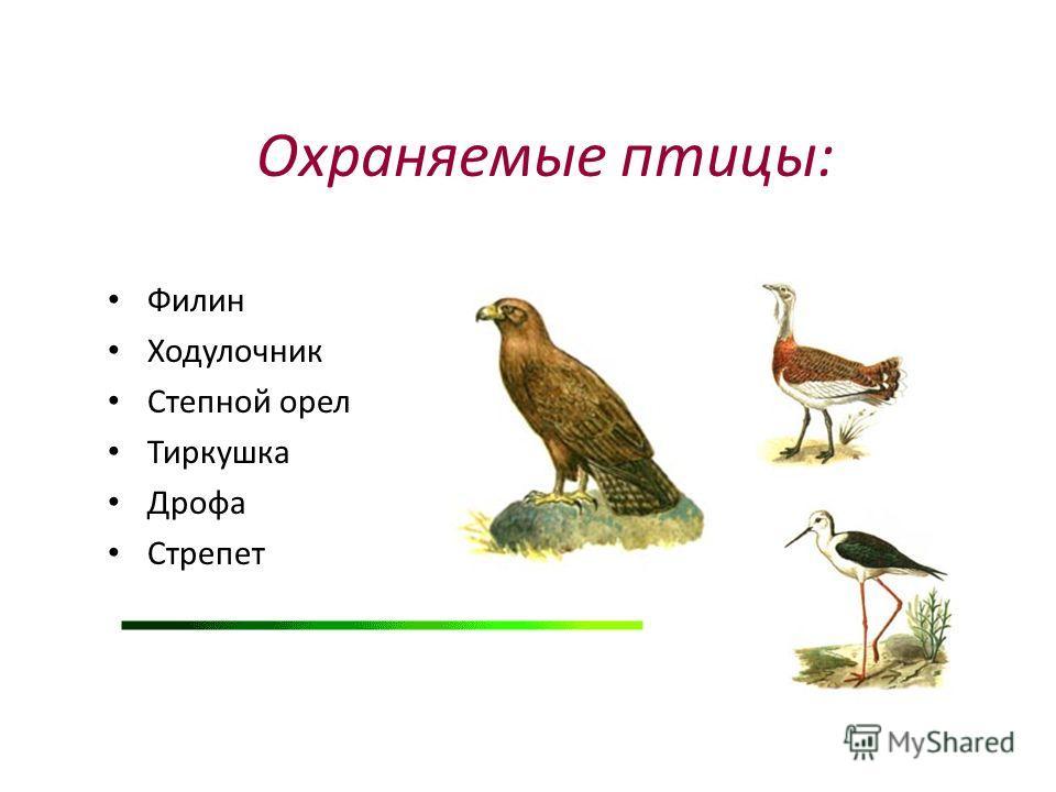 Охраняемые птицы: Филин Ходулочник Степной орел Тиркушка Дрофа Стрепет