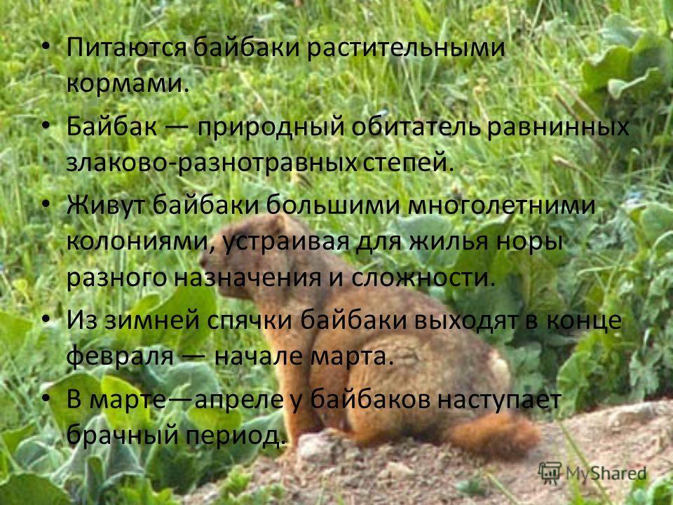 Питаются байбаки растительными кормами. Байбак природный обитатель равнинных злаково-разнотравных степей. Живут байбаки большими многолетними колониями, устраивая для жилья норы разного назначения и сложности. Из зимней спячки байбаки выходят в конце