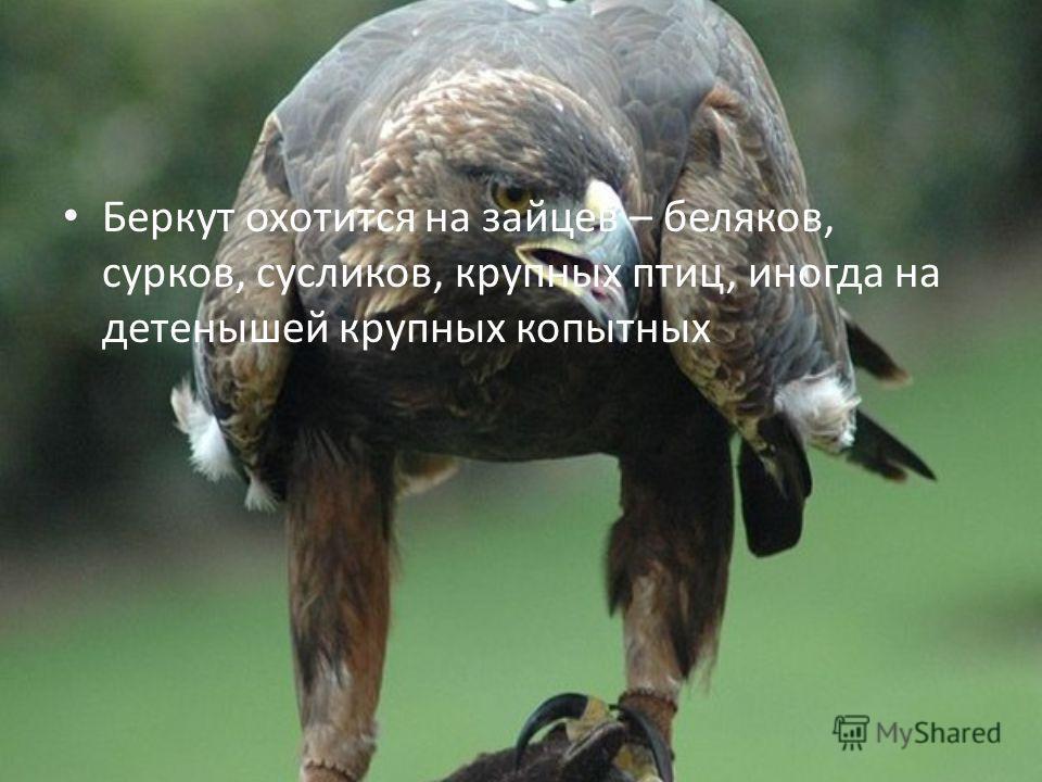 Беркут охотится на зайцев – беляков, сурков, сусликов, крупных птиц, иногда на детенышей крупных копытных