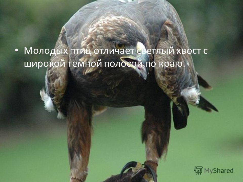 Молодых птиц отличает светлый хвост с широкой темной полосой по краю.