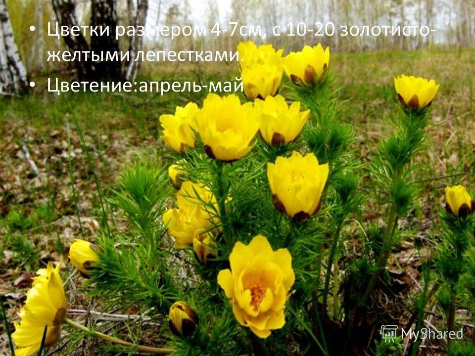 Цветки размером 4-7см, с 10-20 золотисто- желтыми лепестками. Цветение:апрель-май