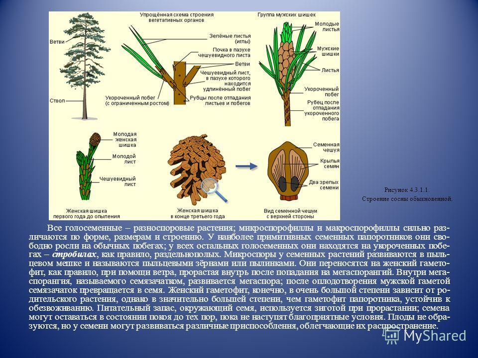 4.3.1. Строение голосеменных Голосеменные (Gymnospermae) – наиболее древняя и до сих пор процветающая группа семенных растений, занимающая промежуточное положение между папоротниками и цветковыми растениями. Ранее исследователи выделяли все семенные